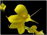 Yellow Orchids by ccmerino, Photography->Flowers gallery