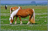 Zeeland Wild Horses 02, Enjoy Your Meal by corngrowth, photography->animals gallery