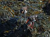 Oystercatchers by biffobear, photography->birds gallery