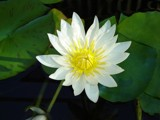 White Lotus by mythica, photography->flowers gallery