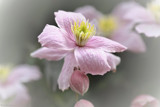 Clematis Montana by LynEve, photography->flowers gallery