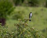 Kingbird by Pistos, photography->birds gallery
