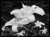 B/W Day Lilies Beauties by icedancer, contests->b/w challenge gallery