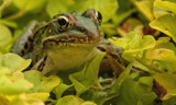 Ribbit! by Jimbobedsel, photography->reptiles/amphibians gallery