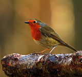 Robin Redbreast by biffobear, photography->birds gallery
