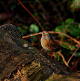 Dunnock by biffobear, photography->birds gallery