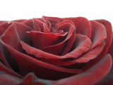 Red Rose on Light Table by ccmerino, photography->flowers gallery