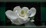 Magnolia By Design by Darinsarea56, Photography->Flowers gallery
