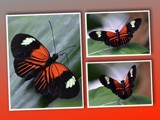 """""""Heliconius erato reductimaculata"""" by icedancer, photography->butterflies gallery"""