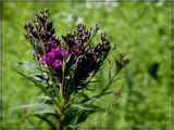 Prairie Ironweed by trixxie17, photography->flowers gallery