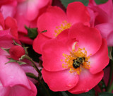Bee in the Pink by Pistos, photography->flowers gallery