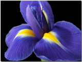 Iris by ccmerino, Photography->Flowers gallery