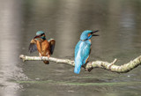 Kingfisher by japio, photography->birds gallery