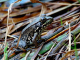 Ribbit... by gerryp, Photography->Animals gallery