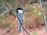 Li'l Chickadee by muggsy, Photography->Birds gallery