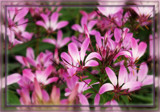 Cleome by trixxie17, photography->flowers gallery