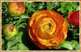 Hot Orange by trixxie17, photography->flowers gallery