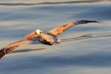 Glide by garrettparkinson, photography->birds gallery