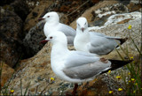 Gull Trio by LynEve, photography->birds gallery