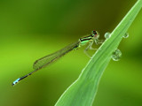 Damselfly by gerryp, photography->insects/spiders gallery