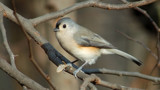 Tufted Titmouse by gerryp, Photography->Birds gallery