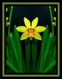 Daffodilly by ccmerino, photography->manipulation gallery