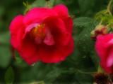 Inner Light by wheedance, Photography->Flowers gallery