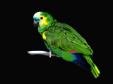 amazona barbadensis by jeenie11, Photography->Birds gallery