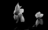 White Flowers by coram9, Photography->Flowers gallery