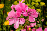 Malva by corngrowth, photography->flowers gallery