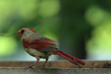 The Female Cardinal by tigger3, photography->birds gallery