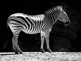Young Zebra by Ramad, contests->b/w challenge gallery