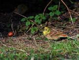 Yella by biffobear, photography->birds gallery
