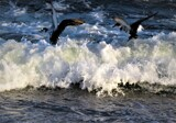 The Confluence of Wings and Waves by Pjsee16, photography->birds gallery