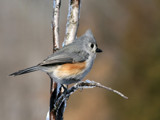 Tufted Titmouse by egggray, Photography->Birds gallery