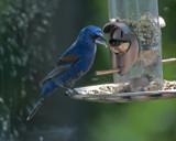 Blue Grosbeak III by gharwood, Photography->Birds gallery