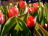 Tulips Popping by trixxie17, photography->flowers gallery