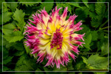 Dahlia Show 08 by corngrowth, photography->flowers gallery