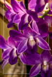 Purple Orchids by corngrowth, photography->flowers gallery