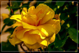 Foofy Friday Yellow 'Queen' by corngrowth, photography->flowers gallery