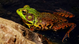 Rana clamitans #2 by tigger3, photography->reptiles/amphibians gallery