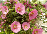 Anisodontea (African Mallow) by trixxie17, photography->flowers gallery