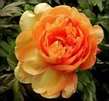 Peony by trixxie17, photography->flowers gallery