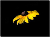 Black-eyed Susan by ccmerino, Photography->Flowers gallery