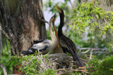 Anhinga and Its Fledglings by Vivianne, Photography->Birds gallery