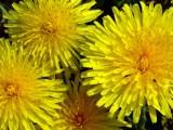 Dandelion Splendour by kjh000, Photography->Flowers gallery