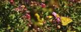 Phoebis Sennae by tigger3, photography->butterflies gallery