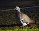 Wood Pigeon by biffobear, photography->birds gallery