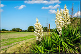 Flowering Yucca by corngrowth, photography->landscape gallery