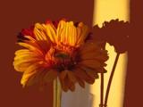 Sunflower by BernieSpeed, Photography->Flowers gallery